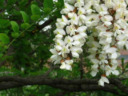 langosta: Robinia pseudoacacia (algarrobo negro)