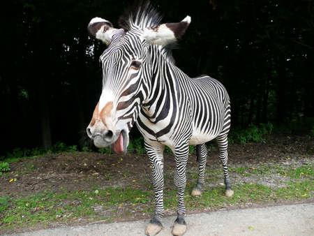 gape: Grevy�s zebra (Equus grevyi) Stock Photo