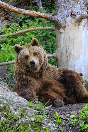BROWN BEAR or Kodiak bear