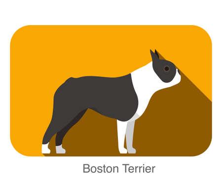 boston terrier: Boston terrier breed dog standing on the ground