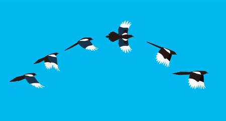 flying sequence of magpie, multiple exposure,  illustration