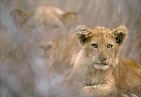 kruger: A lion cub (Panthera leo) stares into the camera while her mother looks on like a ghost in the grass behind her. Kruger National Park, South Africa. by Hal Brindley Stock Photo