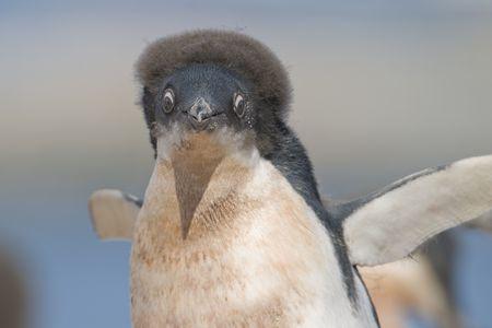 crazed: a molting juvenile Adelie Penguin (Pygoscelis adeliae) with crazy hair at a colony on Yalour Island, Antarctic Peninsula, Antarctica. � Hal Brindley .com Stock Photo
