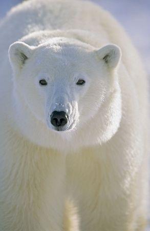 tundra: Polar Bear (Ursus maritimus) Churchill, Manitoba, Canada 1003 © Hal Brindley