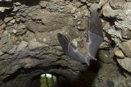 bat animal: Jamaican (or Mexican) Fruit Bat, (Artibeus jamaicensis) flying in a tunnel under a Maya ruin in Tikal National Park, Guatemala © Hal Brindley Stock Photo