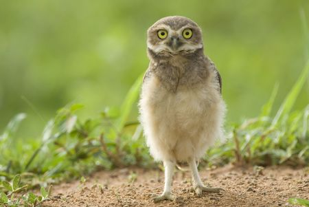 burrowing: juvenile Burrowing Owl (Athene cunicularia) staning on the ground in Palmital, western Brazil, by Hal Brindley