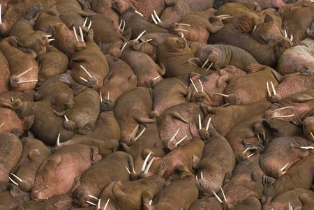 blubber: thousands of male walruses (Odobenus rosmarus) sunbathing together on the beaches of Round Island, Walrus Islands State Game Sanctuary in Bristol Bay, Alaska, USA. by Hal Brindley