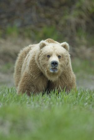 Brown Bear (Ursus arctos) looking up while grazing on sedges at McNeil River State Game Sanctuary. Alaska, USA by Hal Brindley photo