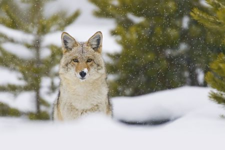 Coyote (Canis latrans) in a snow storm in Yellowstone National Park, Wyoming, USA. by Hal Brindley