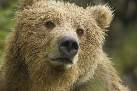 Brown Bear (Ursus arctos) in the rain with wet fur. Closeup. McNeil River State Game Sanctuary. Alaska, USA by Hal Brindley