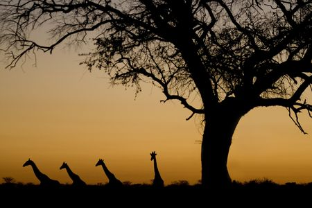 kalahari desert: Four Giraffes (Giraffa camelopardalis) walking in a line, and an acacia tree, silhouetted against an orange sunset in Etosha National Park, Namibia, Africa. by Hal Brindley
