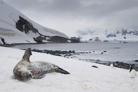 weddell: Yawning Weddell Seal (Leptonychotes weddellii) lying on snow with Gentoo Penguins (Pygoscelis papua). Cuverville Island, Antarctic Peninsula. Antarctica. Stock Photo