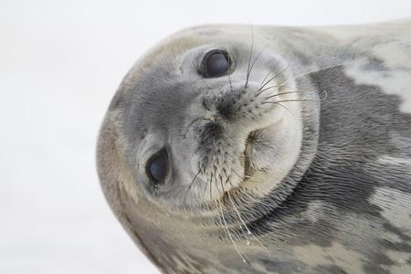 antarctic peninsula: Weddell Seal portrait (Leptonychotes weddellii) raising head from sleeping on snow. Cuverville Island, Antarctic Peninsula. Antarctica.
