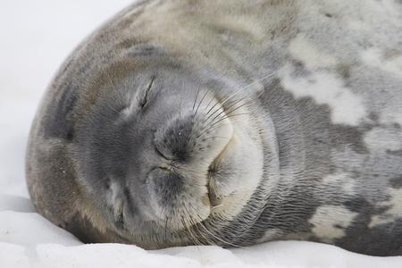 weddell: Sleeping Weddell Seal portrait (Leptonychotes weddellii) with eyes closed. Cuverville Island, Antarctic Peninsula. Antarctica.