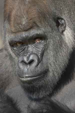 gorilla: Gorila de Lomo Plateado retrato (Gorilla gorilla gorilla) en cautiverio. Zool�gico Nacional. Washington DC, EE.UU.. Foto de archivo