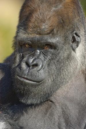 Western Lowland Gorilla portrait (Gorilla gorilla gorilla) captive. National Zoo. Washington DC, USA. Stock Photo - 12506529