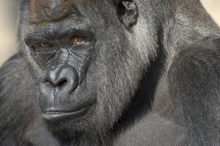 Gorila de Lomo Plateado retrato (Gorilla gorilla gorilla) en cautiverio. Zoológico Nacional. Washington DC, EE.UU..