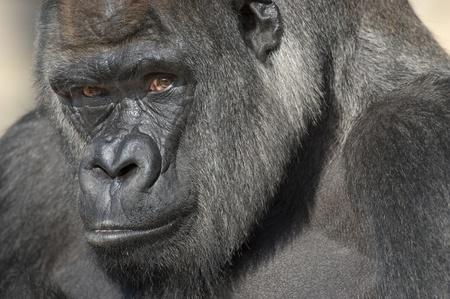 gorila: Gorila de Lomo Plateado retrato (Gorilla gorilla gorilla) en cautiverio. Zool�gico Nacional. Washington DC, EE.UU.. Foto de archivo