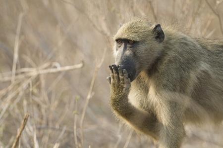 Chacma Baboon (Papio ursinus) covering mouth with hand. Chobe National Park, Botswana. Stock Photo