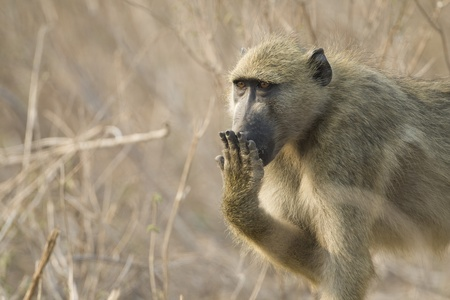 covering: Chacma Baboon (Papio ursinus) covering mouth with hand. Chobe National Park, Botswana. Stock Photo