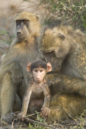 Chacma Baboon (Papio ursinus) mother grooming baby. Chobe National Park, Botswana. Stock Photo - 12506536