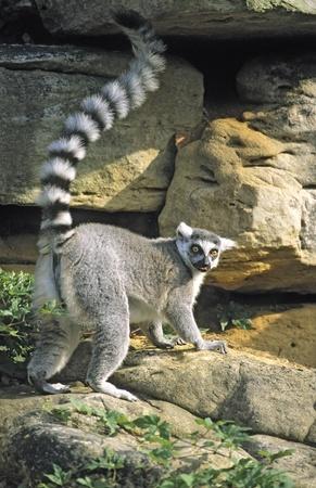 Ring-tailed Lemur (Lemur catta) raising tail, tongue out, captive. National Zoo, Washington, D.C., USA