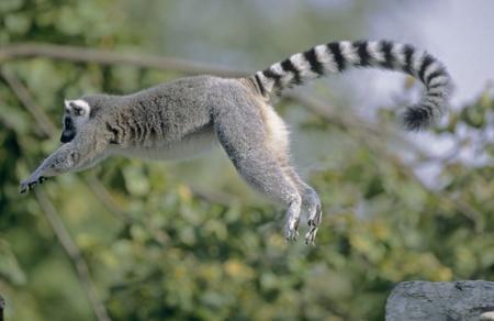 Ring-tailed Lemur jumping (Lemur catta), captive. National Zoo, Washington, D.C., USA