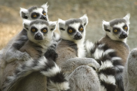 catta: Ring-tailed Lemurs (Lemur catta) captive. Cincinnati Zoo, Cincinatti, Ohio, USA