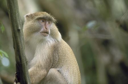 st lucia: Endangered Samango Monkey with rare light-colored pigmentation (Cercopithecus mitis labiatus). Greater St. Lucia Wetland Park, South Africa Stock Photo