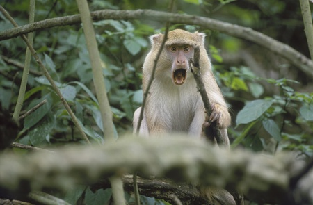 st lucia: Endangered Samango Monkey with rare light-colored pigmentation, mouth open (Cercopithecus mitis labiatus). Greater St. Lucia Wetland Park, South Africa