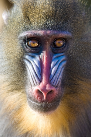 monkey face: Mandrill (Mandrillus sphinx) portrait, captive. Barcelona Zoo, Spain.