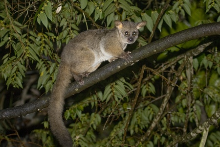 greater: Brown Greater Galago, also Thick-tailed Bushbaby (Otolemur crassicaudatus). Isinkwe Backpackers, Hluhluwe, South Africa.
