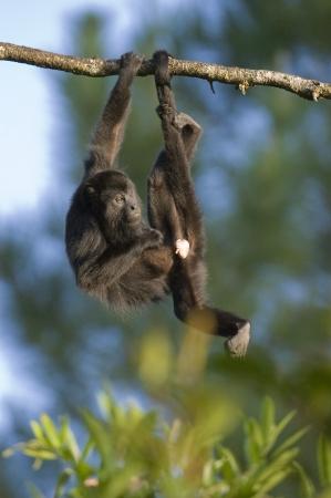 Mono aullador negro (Alouatta pigra) que cuelga de la cola prensil. cautivo. Zoológico de Belice, Belice Foto de archivo