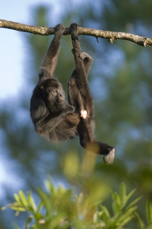 pene: Mono aullador negro (Alouatta pigra) que cuelga de la cola prensil. cautivo. Zoológico de Belice, Belice Foto de archivo