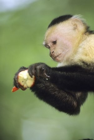 White-faced Capuchin Monkey eating flower from a banana tree (Cebus capucinus)Manuel Antonio National Park, Costa Rica Stock Photo - 12506541