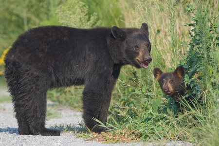 cubs: Black bear (Ursus americanus) mother standing in the road with young cub peeking out from the bushes. Alligator River National Wildlife Refuge, North Carolina, USA