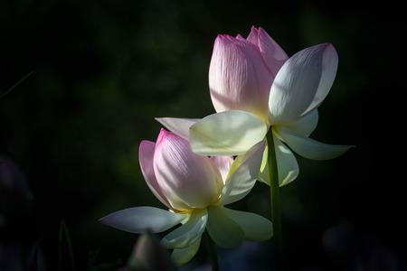 Lotus purple flower Banco de Imagens