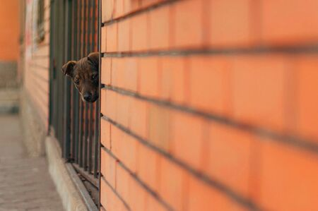A homeless puppy peeks out from behind a wall, a hungry dog looks with sad eyes, an unfortunate animal wants to find a master, help animals, a brick wall Archivio Fotografico