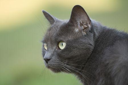 catlike: Blue cat observing Stock Photo