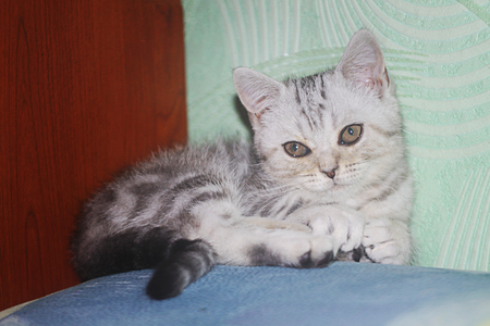 briton: kitten Stock Photo