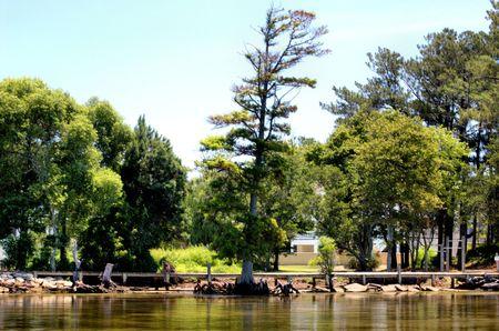 bayou swamp: Old tree