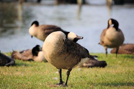scratchy goose