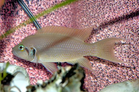 cichlid: african cichlid Stock Photo