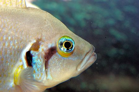 cichlid: african cichlid close up Stock Photo