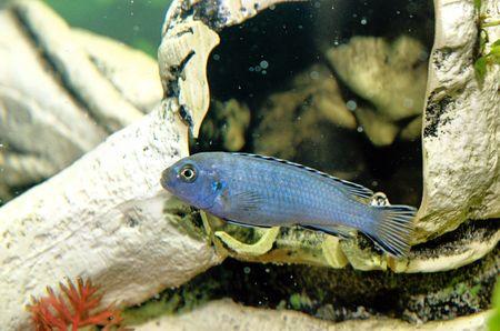 cichlid: blue african cichlid Stock Photo