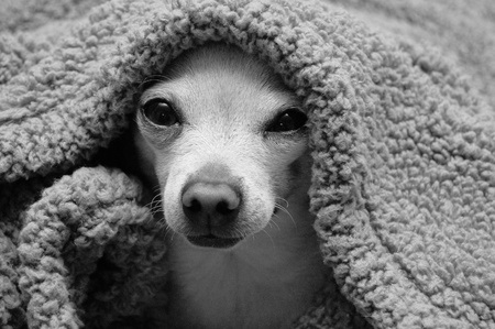 black and white chihuahua Stock Photo - 10689816