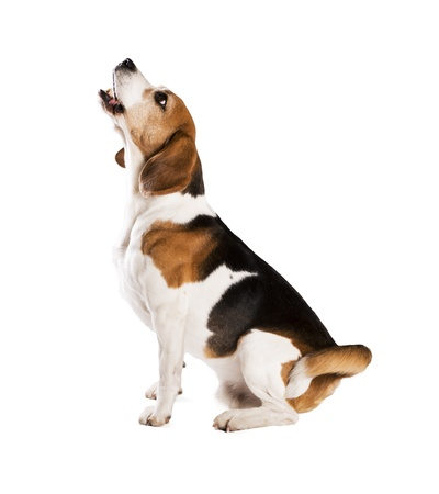 dog sitting: Dog is posing in studio - isolated on white background Stock Photo