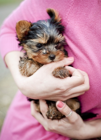 Cute little yorkshire puppy in woman s hands photo