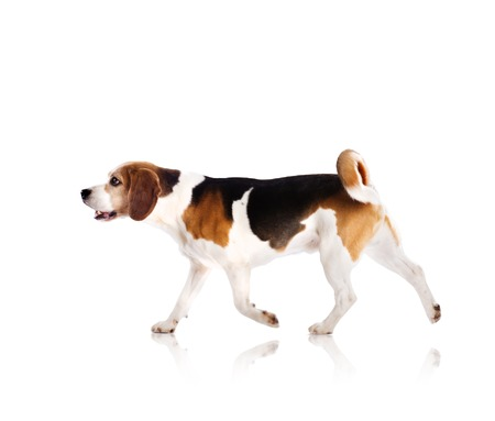 run down: Dog is posing in studio - isolated on white background Stock Photo