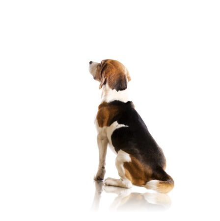 sitting down: Dog is posing in studio - isolated on white background Stock Photo
